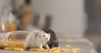 se débarasser des rats